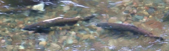 Chinook Salmon spawning on Mt. Hood National Forest