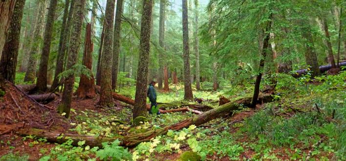 Lush temperate rainforest typical of Mt Hood National Forest