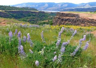 Blue Lupine and Cliff Views of Columbia River Gorge