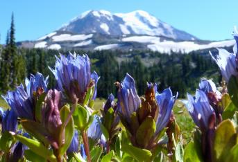 Mt Adams and gentian flowers along the PCT
