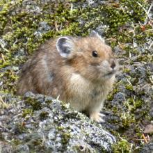 Pika Rock Rabbit by Pacific Crest Trail in Washington