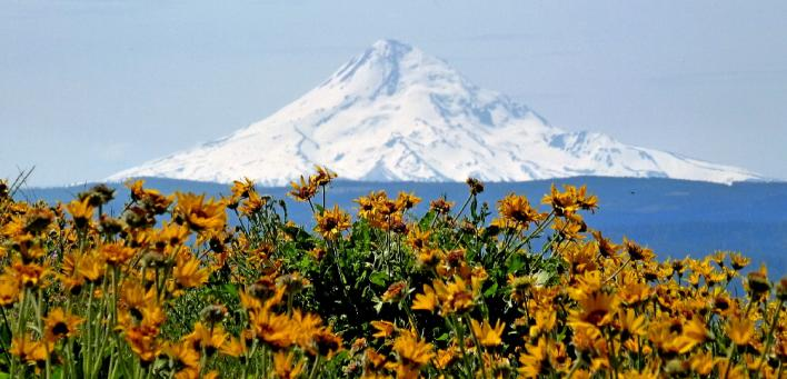 Mount Hood above Balsam Root Flowers in Columbia River Gorge