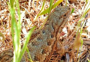 Western Fence Lizard in Columbia River Gorge
