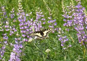 Swallowtail butterfly on lupine in Columbia River Gorge