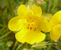 Yellow monkeyflower in Columbia River Gorge