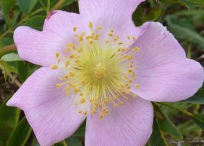 Wild Rose in Columbia River Gorge