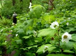 thimbleberry flowers by trail