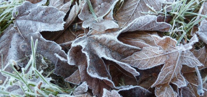Frozen leaves by trail in Columbia River Gorge