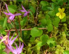 calypso orchids and yellow violet