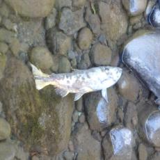 Spawned out salmon in Clackamas River on Next Adventure Hike