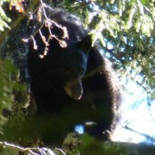 Bears and Berries