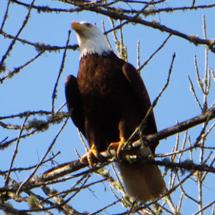 Trip Report: Bald Eagle Rescue at Scappoose Bay